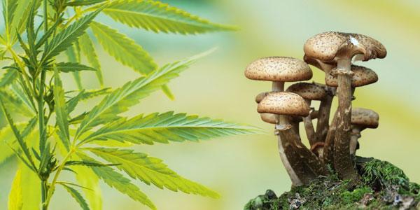 Mixing Mushroom With CBD